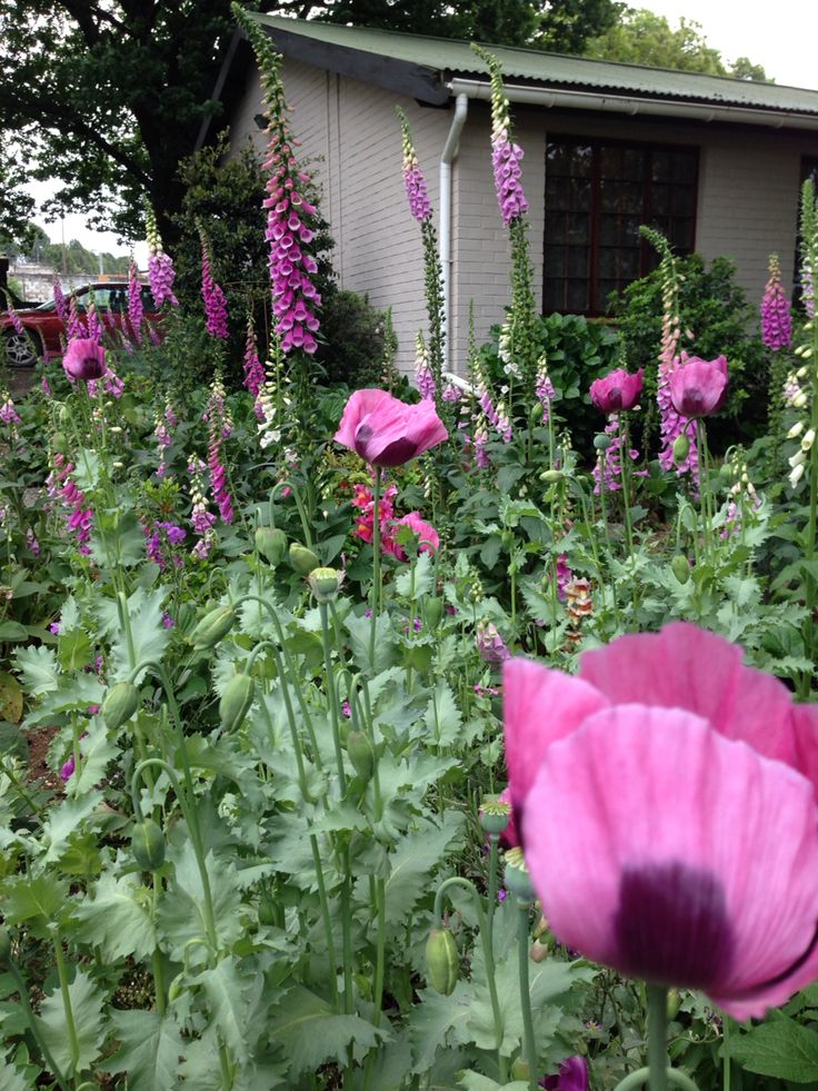 Purple poppies and fox gloves in Nottingham Road, Midlands Meander, KZN, South Africa. www.midlandsmeander.co.za