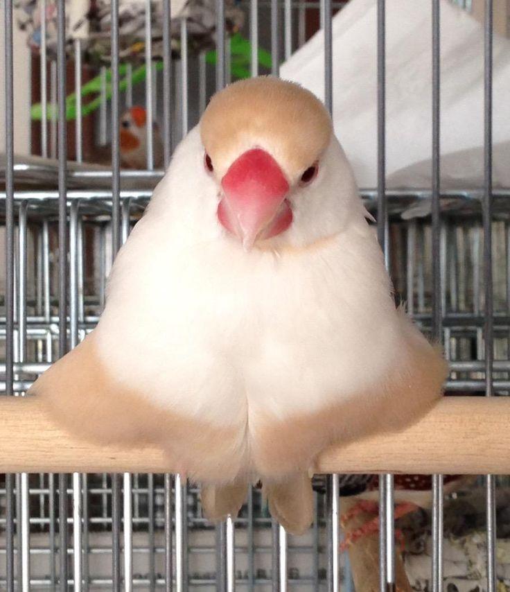 """""""@blunder4437: すんげー形になってた❤︎ #クリーム文鳥 #文鳥 """" とろけてる…!"""