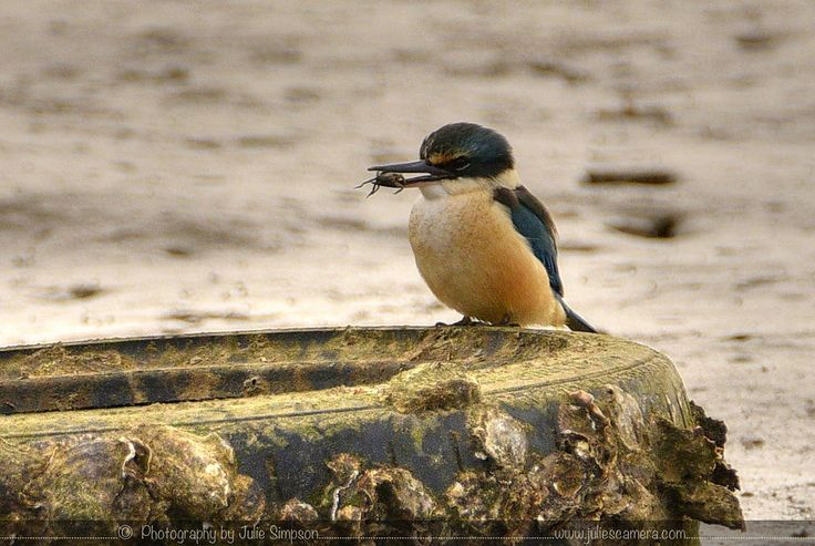 https://flic.kr/s/aHskD9egvd | NZ KINGFISHER (KOTARE) | Other names: New Zealand kingfisher, kōtare, kotare, green kingfisher, tree kingfisher, wood kingfisher  Geographical variation: Eight subspecies in Australia, New Caledonia, the Loyalty, Lord Howe Norfolk and Kermadec Islands and New Zealand. The New Zealand subspecies is vagans.  The sacred kingfisher is one of the best known birds in New Zealand due to the iconic photographs published over many years by Geoff Moon. These early…
