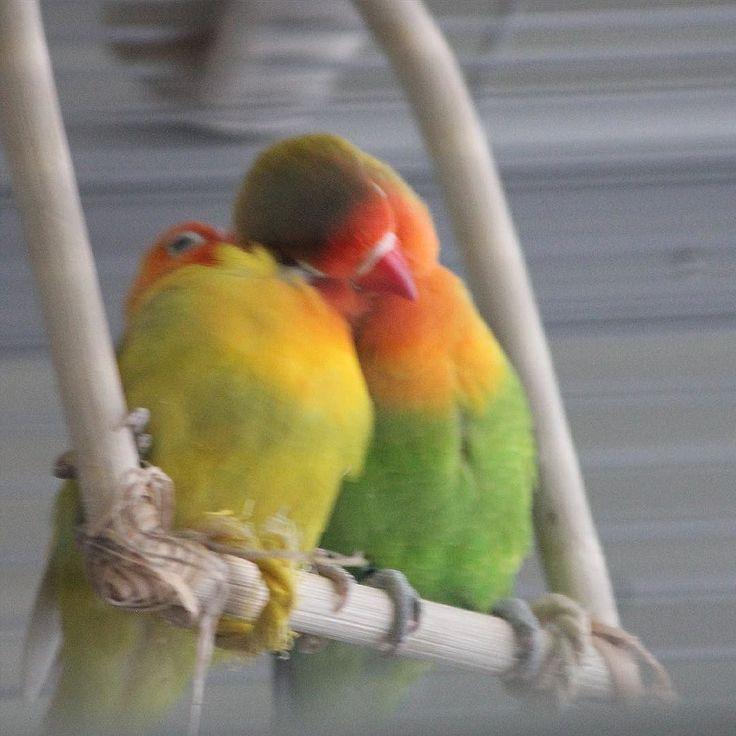 One Eye Harrison   #lovebirds #birds #vögel #unzertrennliche #agapornis #fischeri #fischers #pfirsichköpfchen #rosenköpfchen #liebesvögel #haustier #pets #papagei #parrot #cage #käfig #comminity #ziervögel by meet_lovebirds http://www.australiaunwrapped.com/
