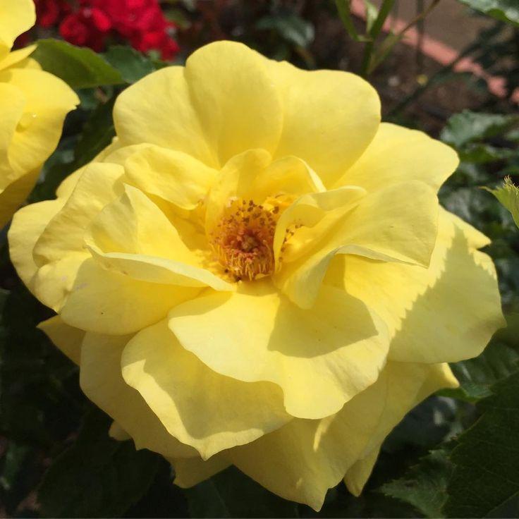 黄色いバラからパワーをもらう��°˖✧◝(⁰▿⁰)◜✧˖°�� #藍住 #バラ園 #藍住バラ園 #バラ祭り#ばら #薔薇 #バラ #バラ�� #flower #flowers #flowerstagram #flowerslovers #花 #花のある風景  #花が好きな人と繋がりたい  #rose #rose�� http://gelinshop.com/ipost/1517985942487943426/?code=BUQ-CwMB8kC