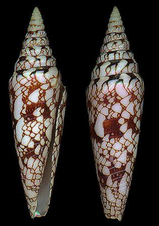 Leptoconus milneedwardsi milneedwardsi    Jousseaume, F.P., 1894 Glory of India Cone Shell size 46 - 185 mm KwaZuluNatal, RSA - Red Sea; Indian Ocean; China Sea