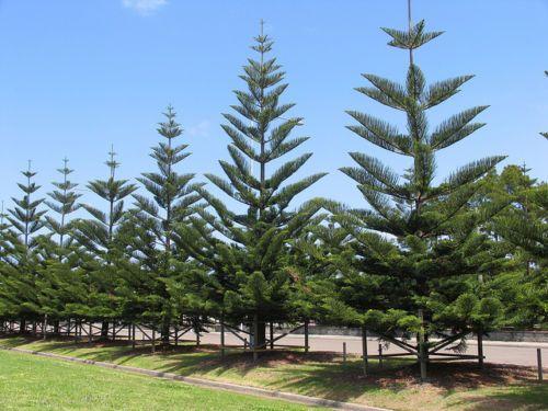 10 FRESH Norfolk Island Pine / Araucaria Heterophylla ...