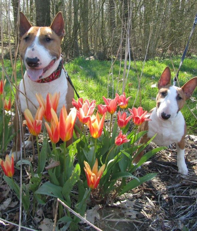 Mini Bull Terriers in Holland