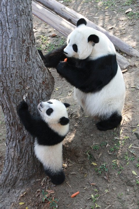 """""""Are we climbing or are we eating?"""" #panda"""