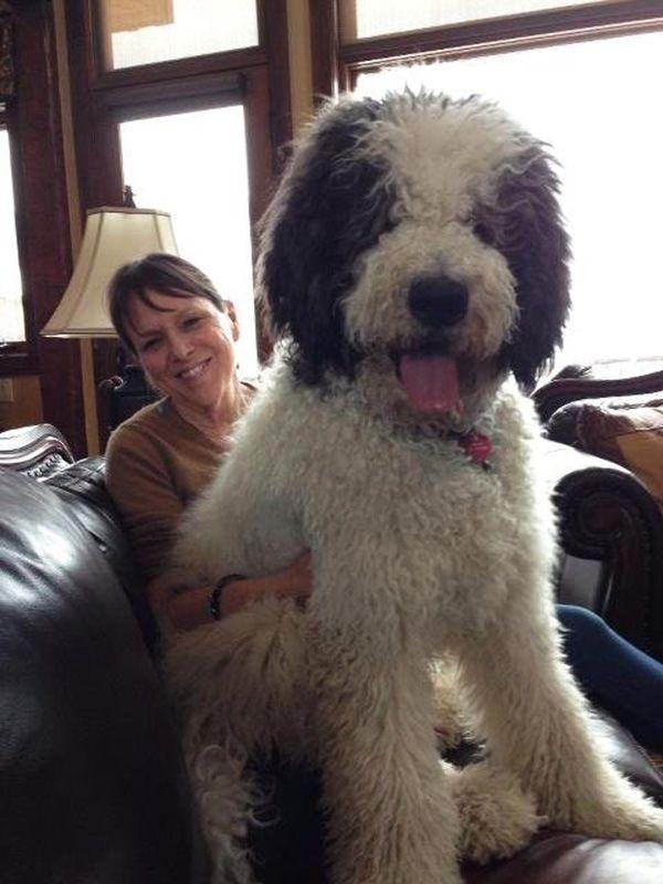 Great Dane Poodle Great Doodle Poodle Cross Breeds Lap Dogs