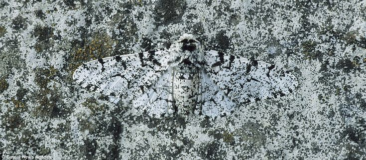 Buzz off: This Peppered Moth has found the perfect hiding place on a rock