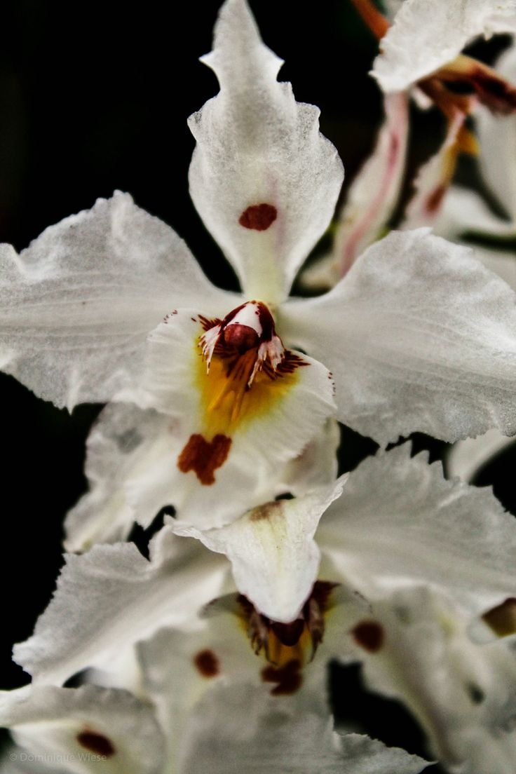 Orchid at Dracula's Orchid Farm in Volcan, Panama