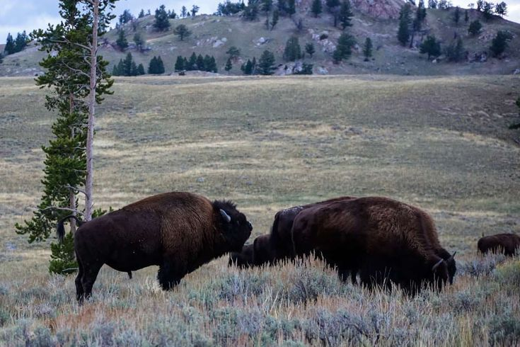 Yellowstone National Park Tiere