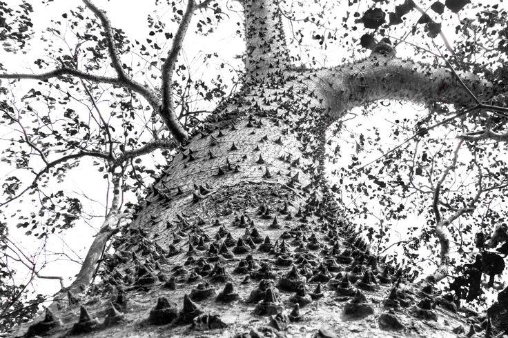 Kapok Tree by Tom Dailey on 500px