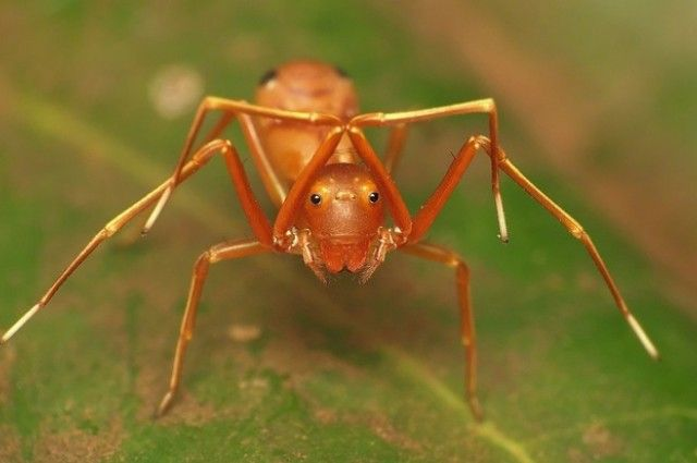 Ants use mimicry to look like spiders for protection from predators/aid in hunting prey. -Leigh Anne Tiffany