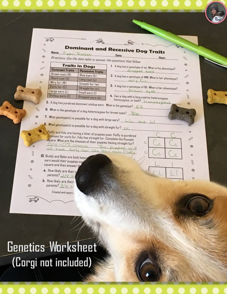 dominant and recessive traits in dogs genetics worksheet love this love and dogs. Black Bedroom Furniture Sets. Home Design Ideas