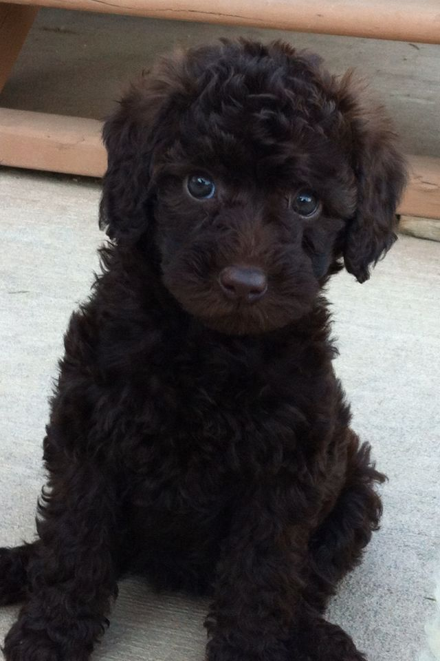 Australian Labradoodle #puppy #Puppy Patch Labradoodles!