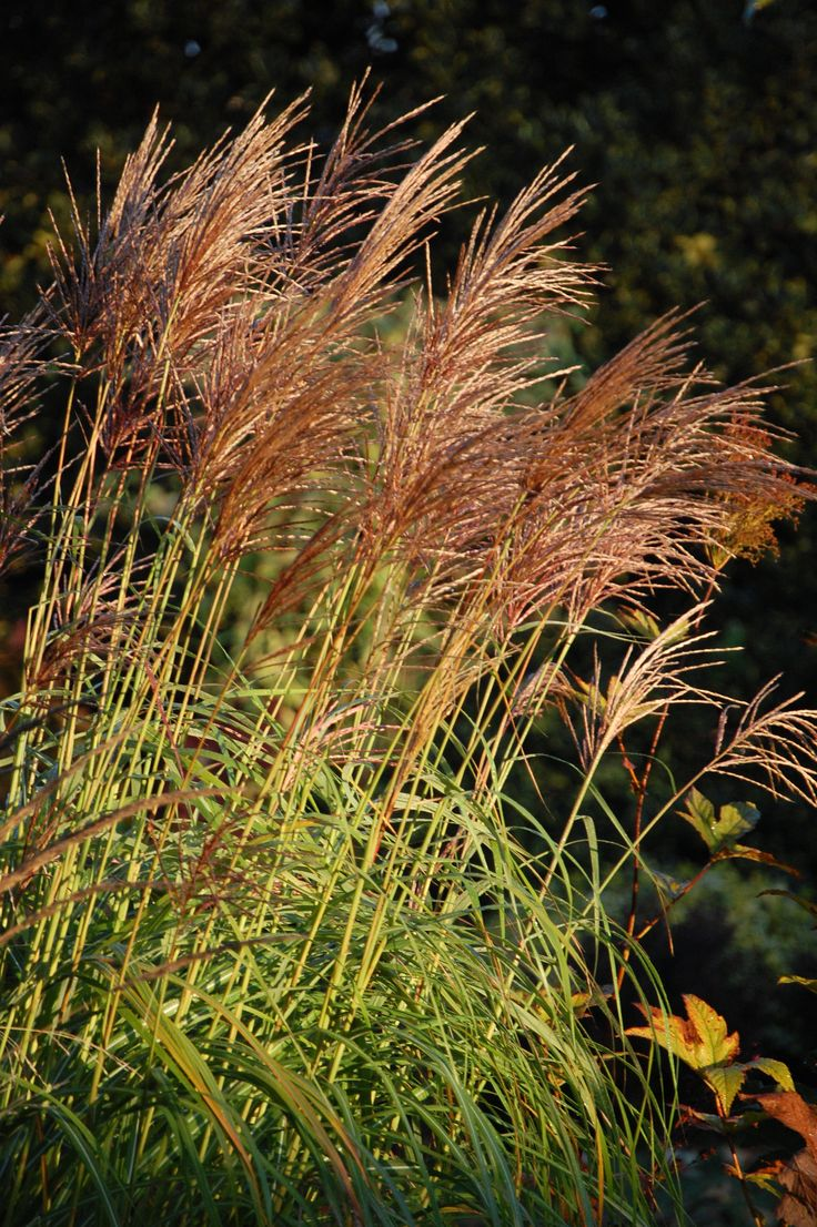 17 best images about miscanthus on pinterest gardens. Black Bedroom Furniture Sets. Home Design Ideas