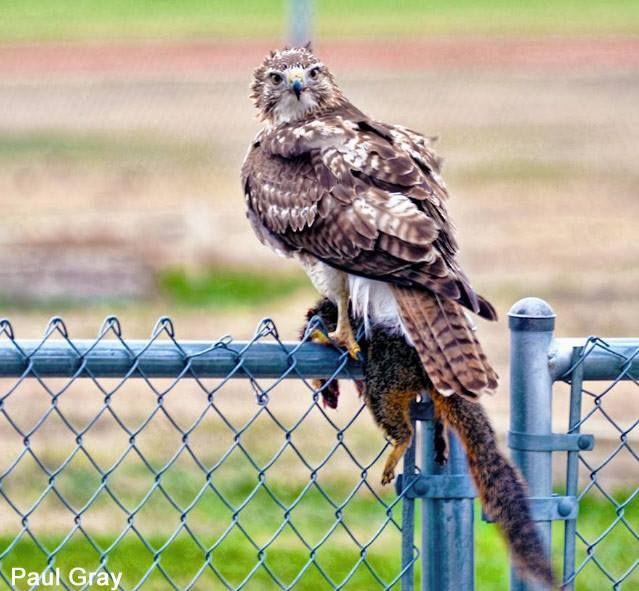Galerie : Buse à queue rousse ayant tué un Écureuil gris dans un lycée américain - Photo  prise par Paul Gray. #ornithologie   #oiseaux   #rapaces   #birds  #texas #birdwatching #birding