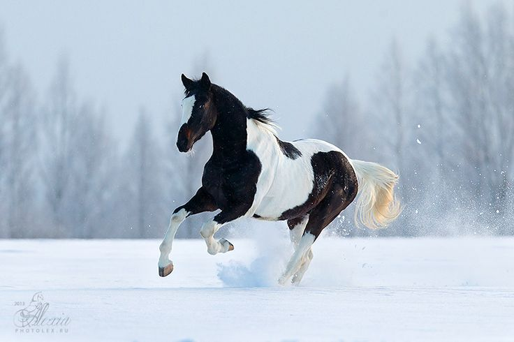 White horses running in snow