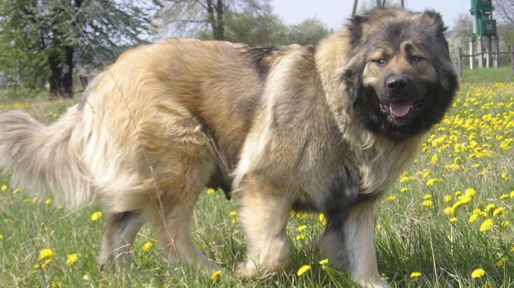 Animals___Dogs_Big_kazakh_sheepdog_in_the_field_047932_24.jpg (1366×768)