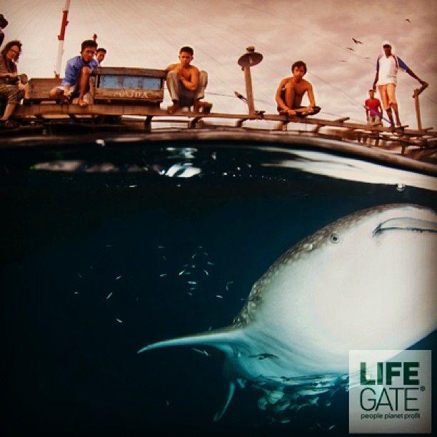 """Se lo squalo diventa una preda. In Indonesia è stato istituito un santuario, una riserva naturale per proteggere squali e mante dagli assalti dell'uomo. Perché questi giganti degli oceani sono molto più """"buoni"""" da vivi. Leggi il resto della storia qui: http://lifeg.at/YxsuN5"""