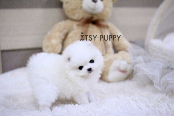 Daisy - Micro Female Pom - ITSY PUPPY: Teacup puppies for sale in CA | Micro and Teacup Maltese Pomeranian Yorkie Poodle Puppies from Califo...
