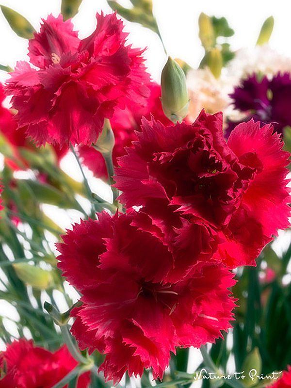 Blumenbild-Kunstdruck und Leinwandbild rot-weiß-lila-pinke Nelken