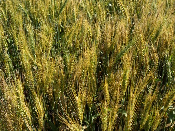 Ears of Wheat in May: harvest time it's coming in the South of I#taly #photo took during a nice afternoon walk