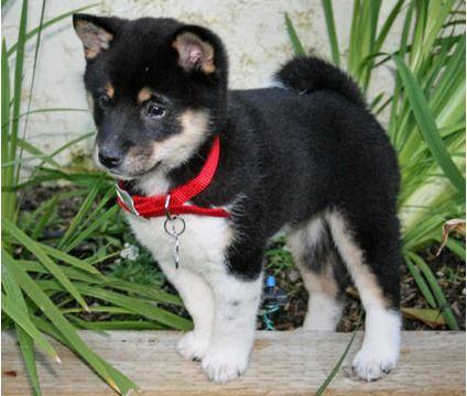 Shiba Inu Puppies is a Female, Male Shiba Inu For Sale in Worcester MA