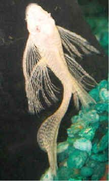 weird little fish - but nice in the tank How to Care for Albino Bristlenose plecostomus, Ancistrus, with pictures