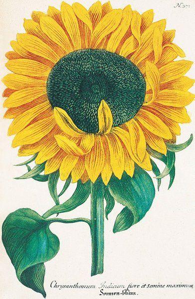 Chrysanthemum indicum flore et semine maximum. Chrysanthemum. Illustration from Johann Wilhelm Weinmann's 'Phytanthoza Iconographia' 1737-1745.
