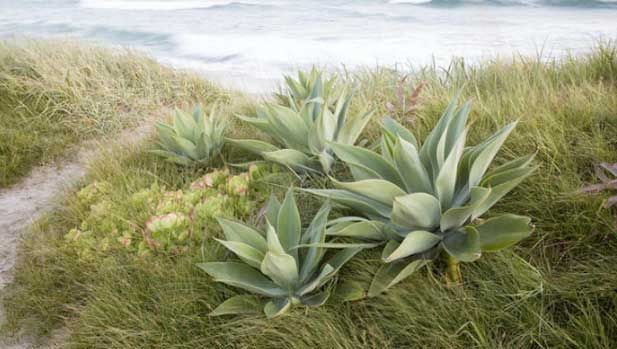 Private ocean meadow, Pacific Dune Sedge, Agave attenuata