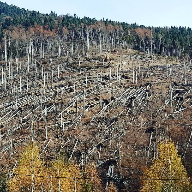 Devastated #forest #nature #trees #storm