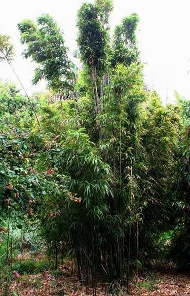 Chimonobambusa quadrangularis - Square Bamboo