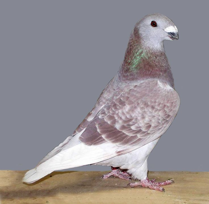 show homer pigeons for sale