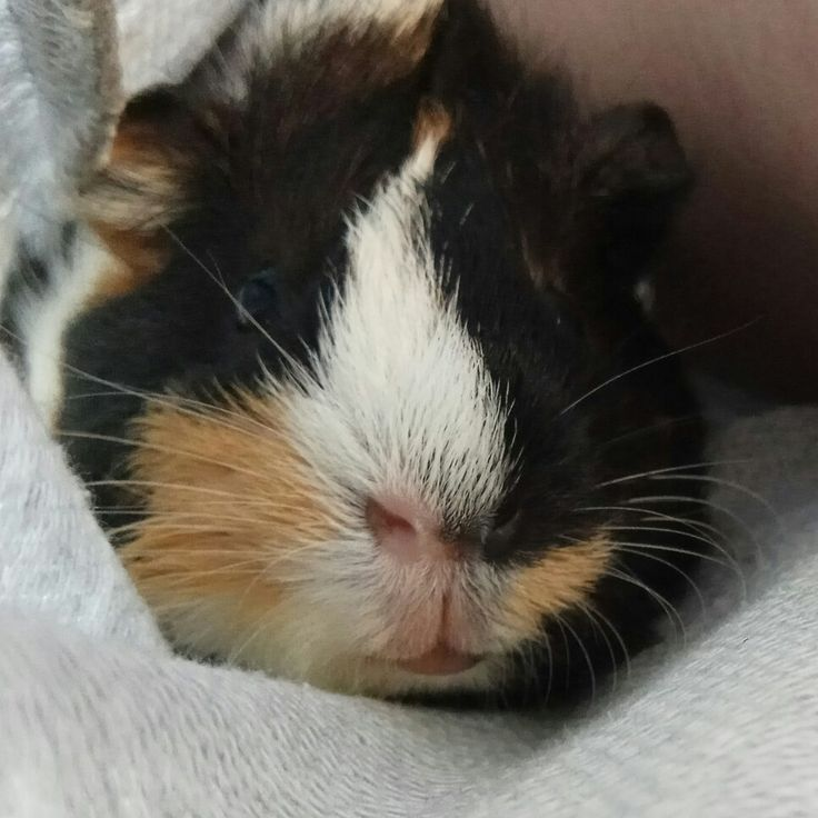 Moffi Moffi the Guinea pig Love Cute Adorable Cutie animal Pet Love