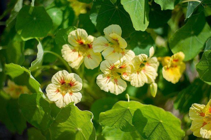 NASTURTIUM - PEACH MELBA - Pinetree Garden Seeds