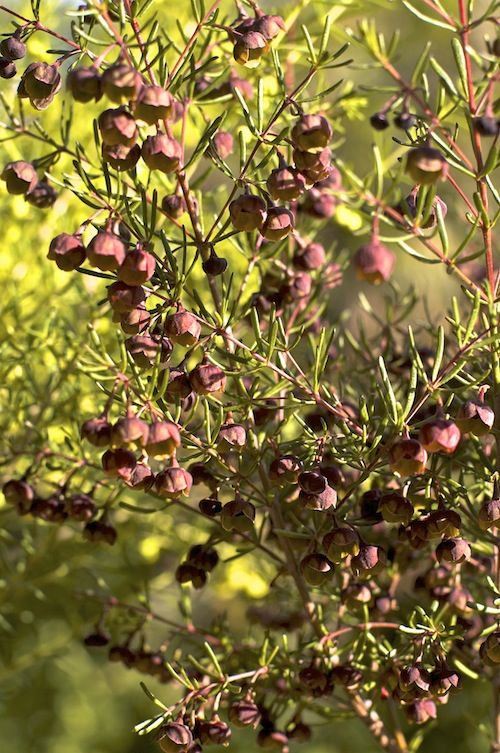 Boronia megastigma, or brown Boronia is an evergreen, Australian native plant with cup-like flowers varying in colour from all yellow to dark brown with yellow inside.Boronias are at their best in the cooler areas of southern Western Australia, The Dandenongs and Mornington Peninsula in Victoria, Tasmania and the Blue Mountains of New South Wales