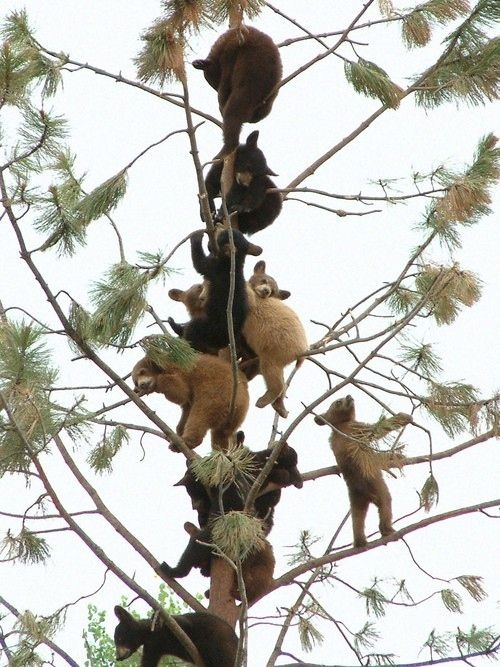 A tree full of baby bears .... SQEE!!!  32 Pictures That Will Make You Say Awwwwwwww