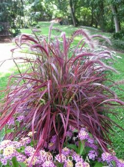 Fireworks Fountain Grass - Colorful, upright growing grass with variegated stripes of white, green, burgundy and hot pink running the length of the blade. Purple tassles appear in summer. Plant as a specimen or in mass for a stunning display of color. A great addition to containers and beds near your patio or deck.