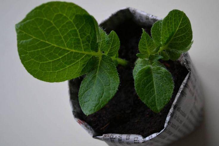 Cutting from potatoe. #gardening #garden #growfood #vegetables #trädgård #odla