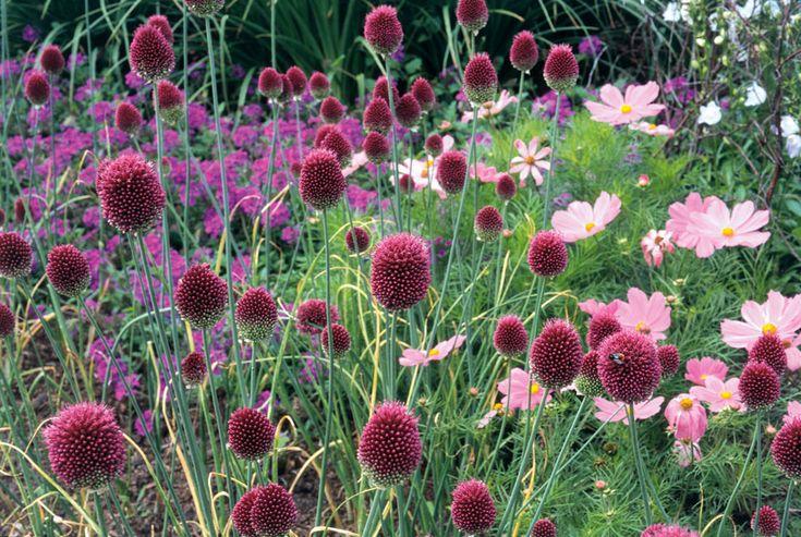 Klotlöken med sina små kompakta mörkröda blommor på en 80 cm hög stjälk kan man se växa vild på torra fält i länderna runt Medelhavet. Den blommar i juni–juli, ibland långt in i augusti. För att de...
