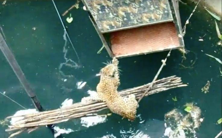 Quand un habitant du village de Junnar situé en Inde, Maharashtra, a entendu les puissants rugissements d'un animal visiblement paniqué,…