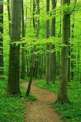 Schmaler Wanderweg durch Buchenwald im zeitigen Frühjahr, frisches Grün