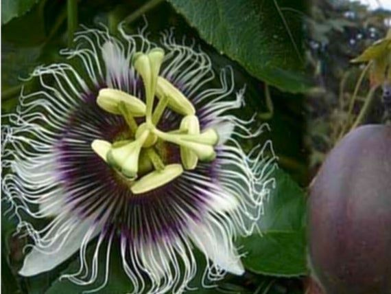 Pin On Passion Flowers