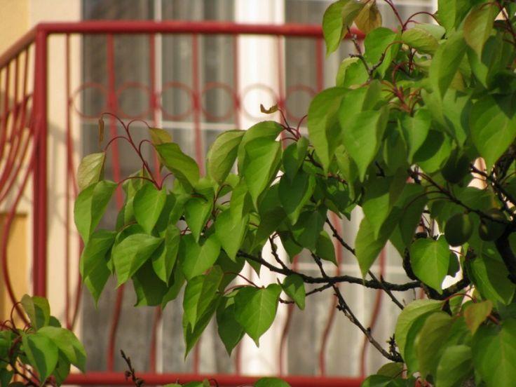 Zöldmetszés szükséges a szép gyümölcshöz | Hobbikert.hu