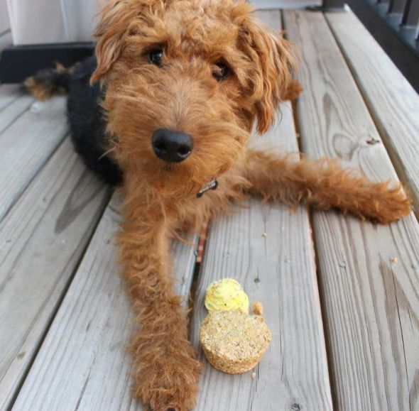 welsh terrier puppy 1000 images about dogs airedale terrier on pinterest 6446