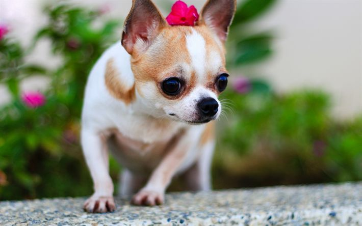 Download wallpapers Chihuahua, pets, dogs, cute animals, blur, Chihuahua Dog