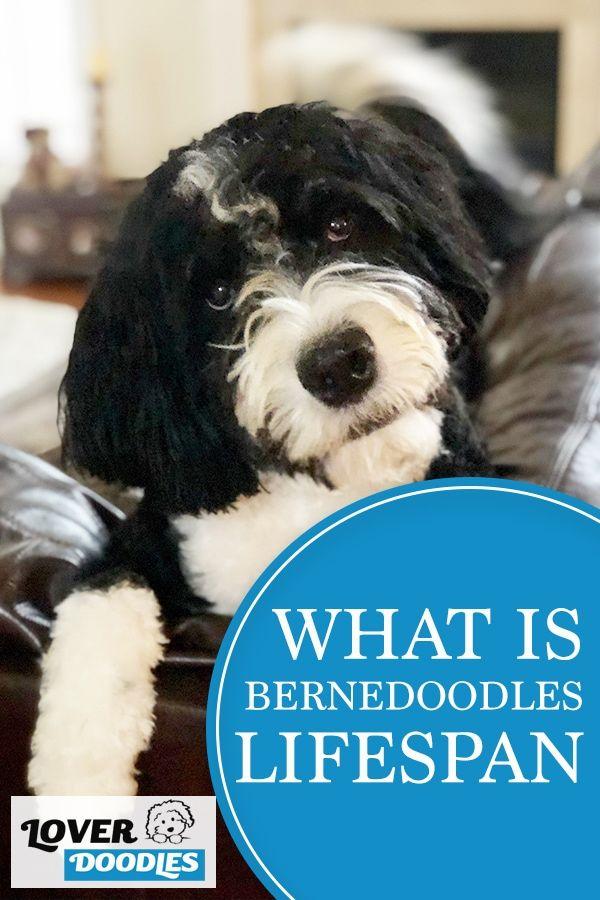 How Long Do Bernedoodles Live In 2020 Bernedoodle Mini Bernedoodle Doodle Dog Breeds