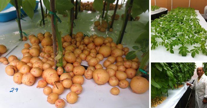 Aeroponické pestovanie zemiakov vo vzduchu bez pôdy, aeroponický spôsob pestovania, zemiaky, aeroponia, International Potato Center, CIP, veda a výskum