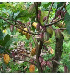 Cokelat / Kakao Rp 75,000