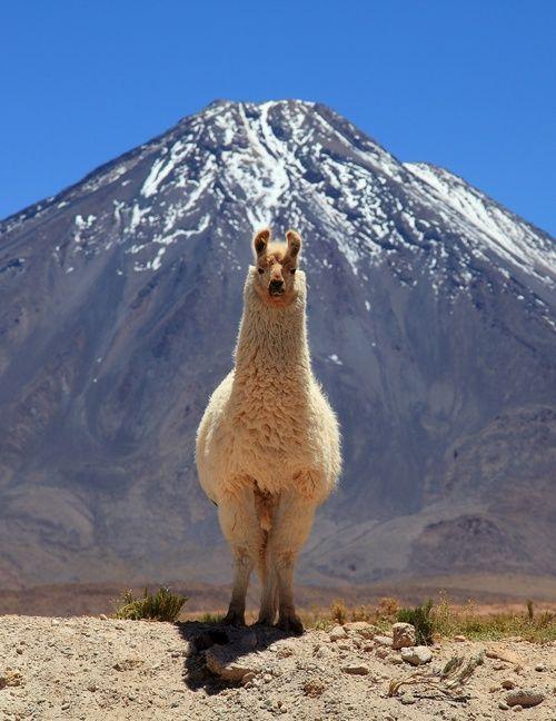 Llama staring at the camera (Llama mirando a la cámara) | Jujuy | Argentina - Miguel Fuentes