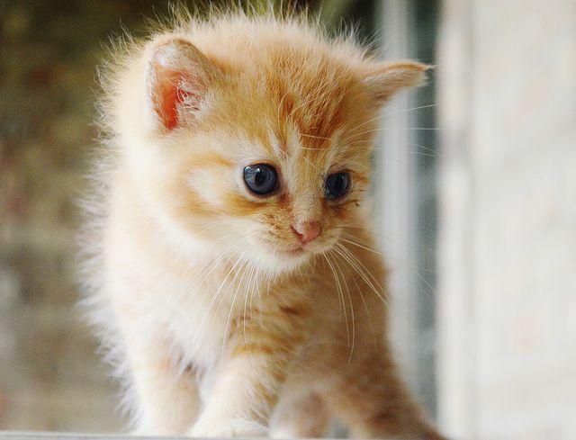 Orange Tabby Kitten  | Flickr - Photo Sharing!